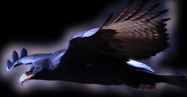 Photo of Orzeł czarny (Aquila verreauxii)