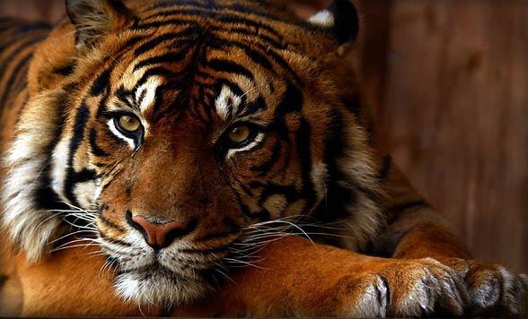 Tygrys bengalski (Panthera tigris tigris).