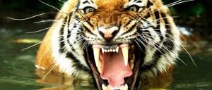 Tygrys bengalski (Panthera tigris tigris)