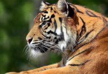 Photo of Tygrys bengalski (Panthera tigris tigris)