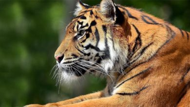 Photo of Tygrys bengalski (Panthera tigris tigris)