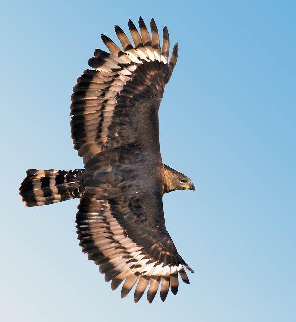 Największe Ptaki Drapieżne świata Top 10 Dinoanimalspl