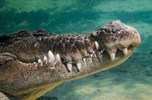 Krokodyl różańcowy (Crocodylus porosus).