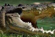 Photo of Krokodyl różańcowy (Crocodylus porosus)