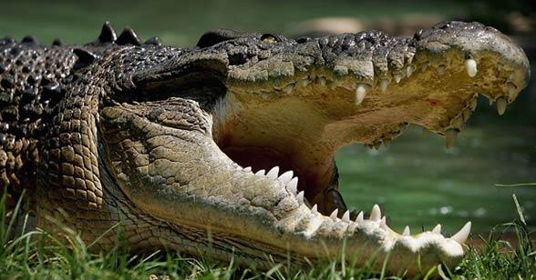 Krokodyl różańcowy (Crocodylus porosus)