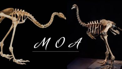 Photo of Moa (Dinornithiformes) – olbrzymie ptaki