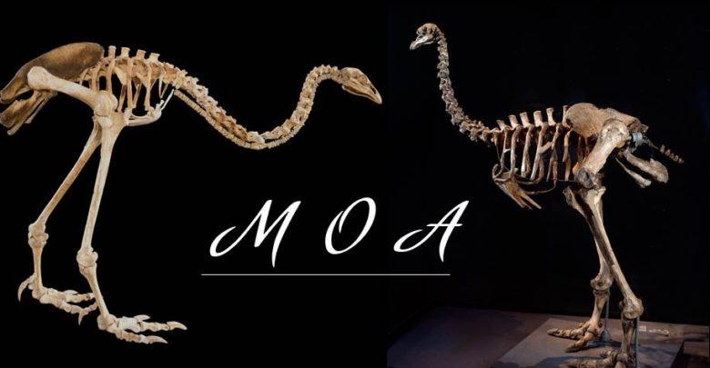Photo of Moa (Dinornithiformes) – olbrzymie ptaki