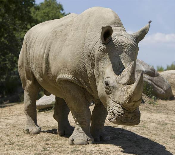 Nosorożec biały (afrykański, szerokopyski, tęponosy) (Ceratotherium simum)