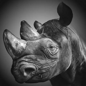 Nosorożec czarny, wąskopyski, zwyczajny, (Diceros bicornis).