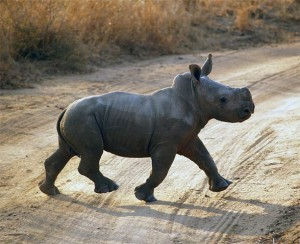 Nosorożec czarny, wąskopyski, zwyczajny (Diceros bicornis).