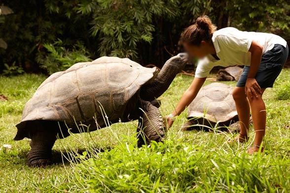 Żółw olbrzymi (Aldabrachelys gigantea).