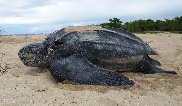 Żółw skórzasty (Dermochelys coriacea)