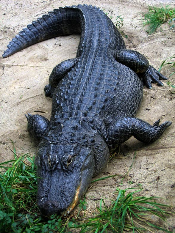 Aligator amerykański, missisipski (Alligator mississippiensis).