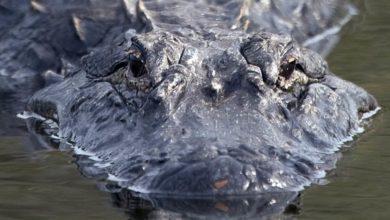 Photo of Aligator amerykański, missisipski i aligator chiński