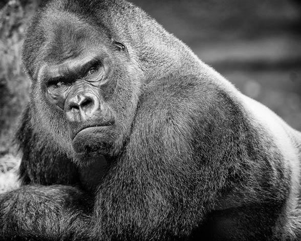 Goryl (Gorilla).