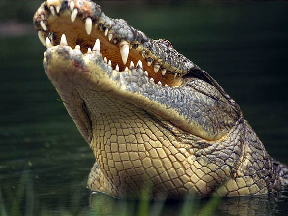 Krokodyl nilowy (Crocodylus niloticus)