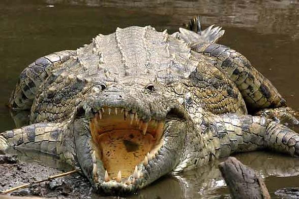 Krokodyl nilowy (Crocodylus niloticus).