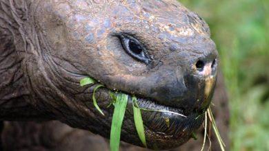 Photo of Żółw słoniowy z Galapagos (Chelonoidis nigra)