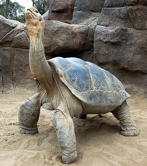 Żółw słoniowy z Galapagos (Chelonoidis nigra).