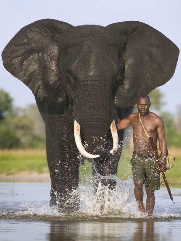 Słoń afrykański (Loxodonta africana).