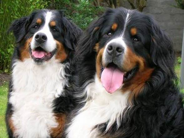 Giant Bernese Mountain Dog For Sale