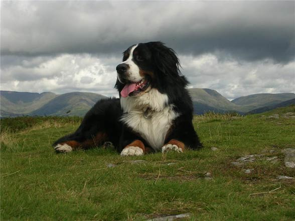 Berneński pies pasterski.