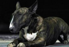 Photo of Bulterier (bull terrier)
