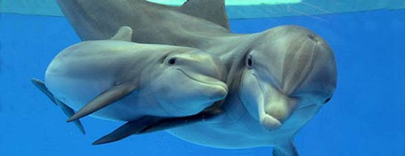 Butlonos, delfin butlonosy (Tursiops truncatus).