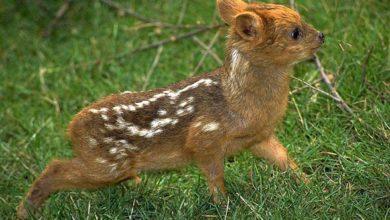 Photo of Pudu (Pudú) – najmniejszy jeleń świata.