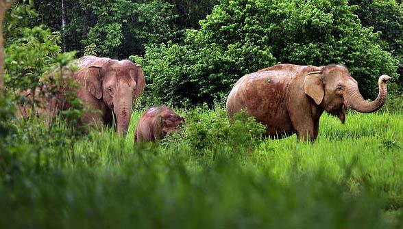 Słoń indyjski (Elephas maximus)