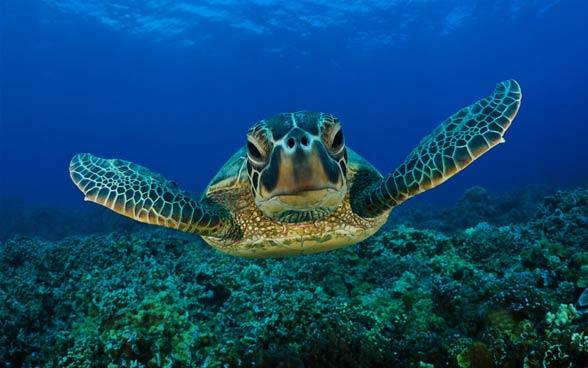 Żółw Karetta (Caretta caretta)
