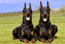 Photo of Doberman