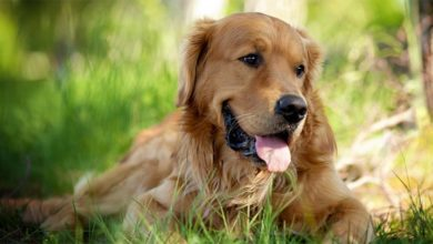 Photo of Golden retriever