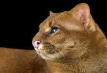Photo of Jaguarundi (Puma yagouaroundi)
