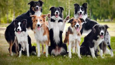 Photo of Border collie – najmądrzejszy pies świata