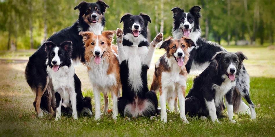 Border Collie Najmądrzejszy Pies świata Dinoanimalspl
