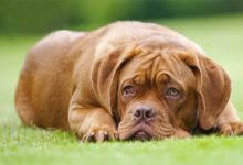 Photo of Dogue de Bordeaux
