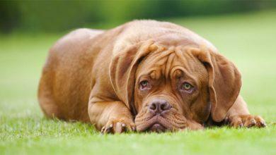 Photo of Dogue de Bordeaux