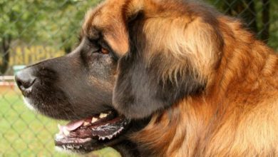 Photo of Leonberger