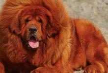 Photo of Mastif tybetański – najdroższy pies świata
