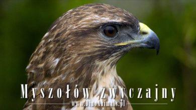 Photo of Myszołów zwyczajny (Buteo buteo)