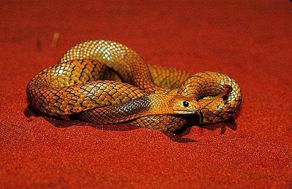 Speckled (spotted) brown snake (Pseudonaja guttata).