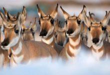 Photo of Widłoróg – najszybsze zwierzę Ameryki