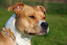 Photo of Amstaf, Amstaff