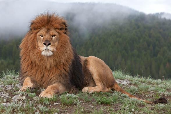 Lew nubijski, lew berberyjski