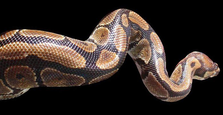 Photo of Najdłuższe węże świata – Top 10