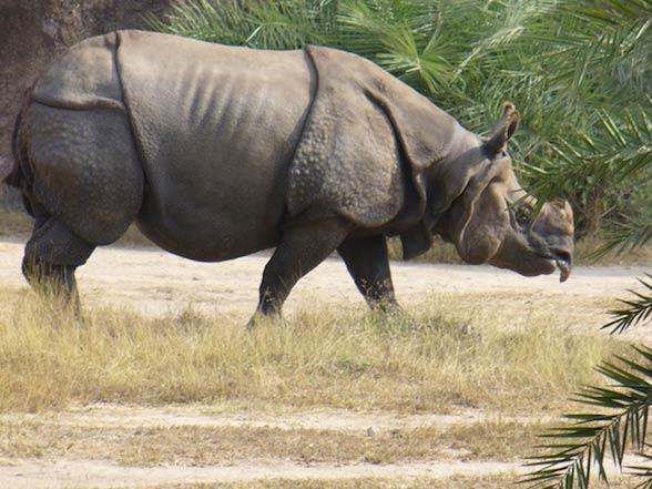 Nosorożec sundajski (Rhinoceros sondaicus)