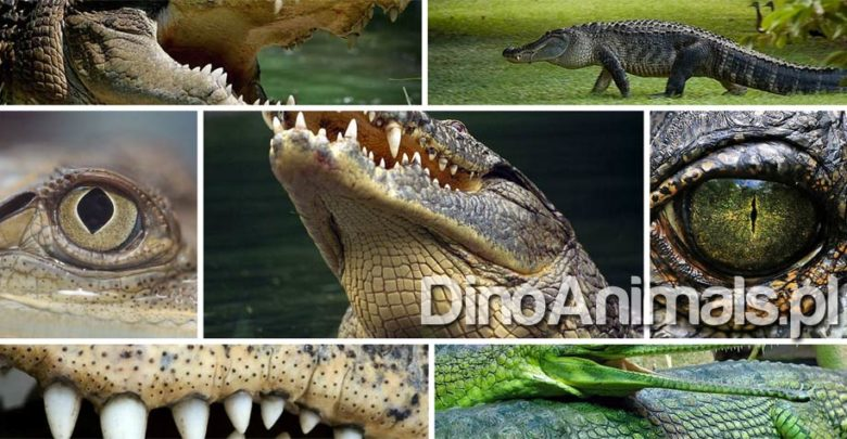 Photo of Aligator, krokodyl, kajman i gawial