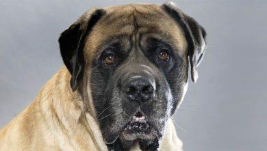 Photo of Mastif angielski