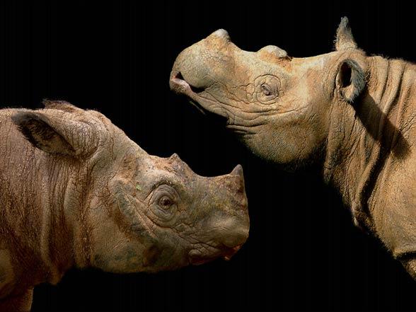 Nosorożec sumatrzański (Dicerorhinus sumatrensis)
